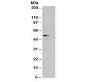 Western blot of HEK293 lysate overexpressing AKT3 probed with AKT3 antibody (mock transfection on right). Predicted molecular weight: ~56kDa but can be observed from 60~65kDa.
