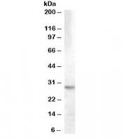 Western blot testing of human hippocampus lysate with 14-3-3 theta antibody at 0.03ug/ml. Predicted molecular weight: ~28kDa.