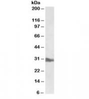 Western blot testing of liver lysate with APOA1 antibody at 0.5ug/ml. Predicted molecular weight ~30kDa.