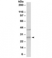 Western blot testing of mouse brain lysate with Fgf23 antibody at 0.5ug/ml. Predicted molecular weight 28~32kDa.