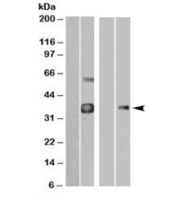 Western blot of HEK293 overexpressing WISP1-FLAG probed with anti-FLAG in the left panel and with WISP1 antibody in the right panel (mock transfection in first lane of each panel).