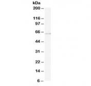 Western blot testing of U937 lysate with ARIH1 antibody at 0.5ug/ml. Predicted molecular weight: ~61 kDa.