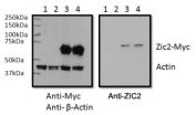 RWPE1 cell lysate overexpressing human ZIC2-MYC tag tested with ZIC2 antibody (0.5ug/ml) in the right panel and probed with anti-MYC tag (1/1000) and anti-beta-Actin in the left panel. Mock-transfected RWPE1 lysate in lane 1 and expressing GFP in lanes 2.