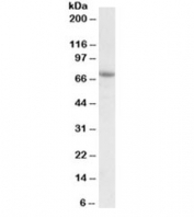 Western blot testing of A549 lysate with AARSD1 antibody at 1ug/ml. Predicted molecular weight: ~45/59/66kDa (isoforms 1/2/3).