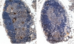 IHC testing of FFPE mouse thymus with (left) and without (right) Scurfin antibody at 2ug/ml. HIER: steamed with pH9 Tris/EDTA buffer, HRP-staining.