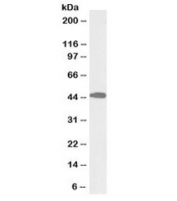 Western blot testing of mouse liver lysate with biotinylated ACAT1 antibody at 0.1ug/ml. Predicted molecular weight: ~45kDa.