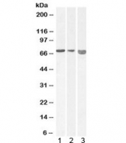 Western blot testing of 1) mouse, 2) rat, 3) pig heart lysate with AIFM1 antibody at 0.01ug/ml. Predicted molecular weight: ~67 kDa.