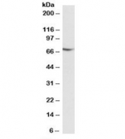 Western blot testing of Jurkat lysate with AIFM1 antibody at 0.01ug/ml. Predicted molecular weight: ~67 kDa.
