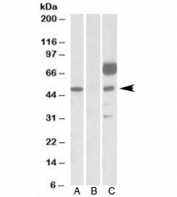 Western blot testing of HEK293 lysate overexpressing human ANGPT1-FLAG with ANGPT1 antibody [1ug/ml] in Lane A and probed with anti-FLAG [1/1000] in lane C. Mock-transfected HEK293 probed with ANGPT1 antibody [1ug/ml] in Lane B. Predicted molecular weight: ~57kDa.