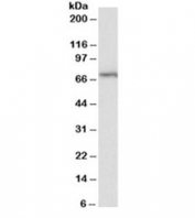 Western blot testing of Daudi lysate with TRIF antibody at 2ug/ml. Predicted/observed molecular weight: 76/70-150kDa.