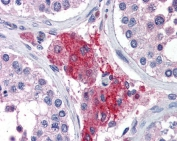 IHC testing of FFPE human testis tissue with Acylphosphatase 1 antibody at 3.75ug/ml. Required HIER: steamed antigen retrieval with pH6 citrate buffer; AP-staining.