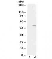 Western blot of HEK293 lysate overexpressing ALDH1A1 probed with ALDH1 antibody (mock transfection in lane 1). Predicted molecular weight ~55 kDa.