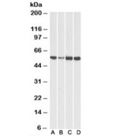 Western blot testing of human [A], fetal mouse [B], adult mouse [C] and adult rat [D] heart lysates with ATP5A1 antibody at 0.01ug/ml. Predicted molecular weight: ~55kDa.
