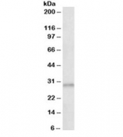 Western blot testing of human cerebral cortex lysate with AES antibody at 0.3ug/ml. Predicted molecular weight: ~22 kDa (AES-1), ~29 kDa (AES-2).