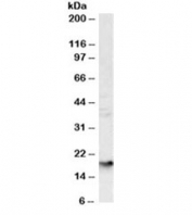 Western blot testing of human liver lysate with Glycophorin A antibody at 1ug/ml. Expected molecular weight: routinely observed at ~16kDa and/or ~38kDa.