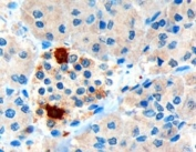 IHC testing of FFPE human pancreas with Pancreatic Polypeptide antibody at 3ug/ml. HIER: microwaved with pH9 Tris/EDTA buffer, HRP-staining. Strong cytoplasmic staining of cells at the periphery of the pancreatic islets is seen.
