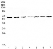 Western blot testing of 1) rat spleen, 2) rat liver, 3) rat PC-12, 4) mouse spleen, 5) mouse thymus, 6) mouse brain and 7) human COLO320 lysate with CD86 antibody at 0.5ug/ml. Predicted molecular weight ~38 kDa (unmodified), 45-70 kDa (glycosylated).