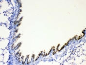 IHC testing of FFPE mouse lung tissue with AGRP antibody at 1ug/ml. Required HIER: steam section in pH6 citrate buffer for 20 min and allow to cool prior to testing.