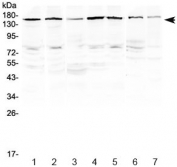 Western blot testing of human 1) HeLa, 2) MCF7, 3) A549, 4) HepG2, 5) COLO320, 6) rat heart and 7) mouse skeletal muscle lysate with PER3 antibody at 0.5ug/ml. Predicted molecular weight ~132 kDa, observed here at ~160 kDa.