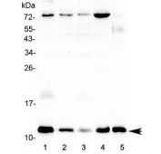 Western blot testing of human 1) U-87 MG, 2) MCF7, 3) A549, 4) HepG2 and 5) mouse testis lysate with DYNLT1 antibody at 0.5ug/ml. Predicted molecular weight ~12 kDa.