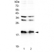Western blot testing of 1) rat brain and 2) mouse brain lysate with Neuropeptide S antibody at 0.5ug/ml. Predicted molecular weight ~10 kDa, observed here at ~19 kDa.