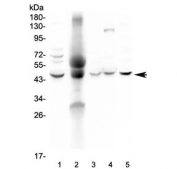 Western blot testing of 1) human HeLa, 2) human blood, 3) rat thymus, 4) rat lung and 5) mouse NIH3T3 lysate with NCF1 antibody at 0.5ug/ml. Expected molecular weight ~47 kDa.