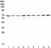 Western blot testing of human 1) HeLa, 2) Jurkat, 3) MCF7, 4) COLO320, 5) U-87 MG, 6) A549, 7) rat thymus, 8) mouse thymus and 9) mouse testis lysate with cIAP1 antibody at 0.5ug/ml. Predicted molecular weight ~70 kDa.