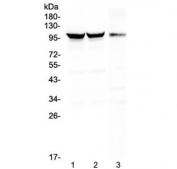 Western blot testing of 1) rat brain, 2) mouse brain and 3) mouse NIH3T3 lysate with Dynamin 1 antibody at 0.5ug/ml. Predicted molecular weight ~97 kDa.