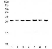 Western blot testing of human 1) HeLa, 2) placenta, 3) HepG2, 4) A549, 5) PANC-1, 6) SK-OV-3 and 7) 22RV1 lysate with 14-3-3 zeta antibody at 0.5ug/ml. Predicted molecular weight ~28 kDa.