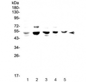 Western blot testing of 1) human HeLa, 2) rat PC-12, 3) mouse lung, 4) mouse ovary and 5) mouse HEPA1-6 lysate with NFIB antibody at 0.5ug/ml. Predicted molecular weight ~47 kDa.