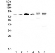 Western blot testing of human 1) HeLa, 2) COLO-320, 3) SK-O-V3, 4) Jurkat, 5) rat heart and 6) mouse heart lysate with CEP68 antibody at 0.5ug/ml. Predicted molecular weight ~81 kDa (isoform 1), ~67 kDa (isoform 2).