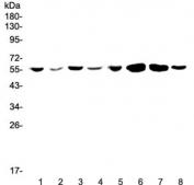 Western blot testing of human 1) Jurkat, 2) HepG2, 3) MCF7, 4) U-87 MG, 5) CCRF-CEM, 6) rat brain, 7) mouse brain and 8) mouse testis lysate wtih CCR3 antibody at 0.5ug/ml. Expected molecular weight: 40~55 kDa.