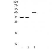 Western blot testing of 1) rat liver, 2) mouse liver and 3) human SMMC-7721 lysate with Regucalcin antibody at 0.5ug/ml. Predicted molecular weight ~33 kDa.