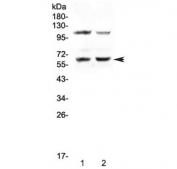 Western blot testing of human 1) PANC-1 and 2) Jurkat cell lysate with AMPK alpha 1 antibody at 0.5ug/ml. Predicted molecular weight ~63 kDa.