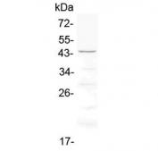 Western blot testing of rat heart lysate with Cd134 antibody at 0.5ug/ml. Expected molecular weight: 29-50 kDa depending on glcyosylation level.