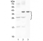 Western blot testing of 1) mouse thymus, 2) mouse HEPA1-6 and 3) rat C6 cell lysate with VEGFA antibody at 0.5ug/ml. Expected molecular weight 19~22 kDa (monomer) and 38~44 kDa (dimer). Banding may appear larger than predicted due to glycosylation.