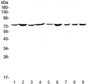 Western blot testing of 1) rat brain, 2) rat thymus, 3) rat testis, 4) rat pancreas, 5) mouse brain, 6) mouse thymus, 7) mouse testis, 8) mouse pancreas and 9) mouse HEPA1-6 lysate with Annexin VI antibody at 0.5ug/ml. Expected molecular weight: 67-76 kDa.