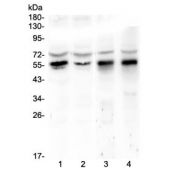 Western blot testing of human 1) HeLa, 2) COLO-320, 3) rat stomach and 4) rat testis lysate with KLF4 antibody at 0.5ug/ml. Predicted molecular weight: 50-60 kDa + possible ~75 kDa (phosphorylated form).