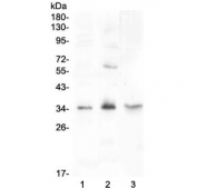 Western blot testing of 1) rat testis, 2) rat PC-12 and 3) mouse testis lysate with FGF23 antibody at 0.5ug/ml. Predicted molecular weight: 28-32 kDa.