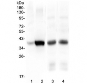 Western blot testing of 1) human HepG2, 2) human Caco-2, 3) rat liver and 4) mouse liver lysate with Thrombopoietin antibody at 0.5ug/ml. Predicted molecular weight: 38 kDa, routinely observed at 40-55 kDa (unmodified), 80-95 kDa (glycosylated).
