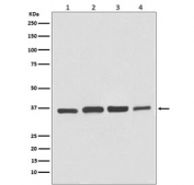 Western blot testing of 1) human HeLa, 2) bovine MDBK, 3) monkey COS-1 and 4) canine MDCK cell lysate with GAPDH antibody. Predicted molecular weight ~36 kDa.