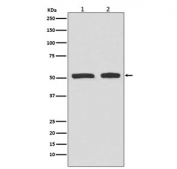 Western blot testing of lysate from human 1) HepG2 and 2) HeLa cells treated with etoposide, with phospho-TP53 antibody (pS9). Predicted molecular weight ~53 kDa.