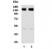 Western blot testing of 1) rat brain and 2) mouse brain lysate with GRM5 antibody. Expected molecular weight: routinely observed at 125-150 kDa (monomer) and 250+ kDa (dimer).