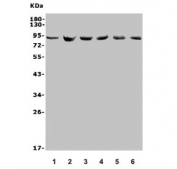 Western blot testing of 1) human U-87 MG, 2) rat PC-12, 3) rat RH35, 4) mouse HEPA1-6, 5) mouse NIH 3T3 and 6) mouse ANA-1 lysate with MDM2 antibody. Predicted molecular weight: ~55 kDa but can be observed at up to ~90 kDa.