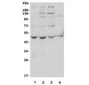 Western blot testing of human 1) HeLa, 2) HepG2, 3) PC-3 and 4) A549 lysate with ATG4A antibody. Predicted molecular weight ~45 kDa, commonly observed between 45-60 kDa.