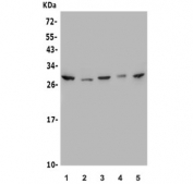 Western blot testing of human 1) A549, 2) HeLa, 3) HEK293, 4) Caco-2 and 5) Raji lysate with MESP1 antibody. Predicted molecular weight ~29 kDa.