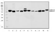 Western blot testing of 1) human Jurkat, 2) human HeLa, 3) human MCF7, 4) monkey COS-7, 5) human K562, 6) HEK293, 7) rat brain, 8) rat heart, 9) mouse brain, 10) mouse heart and 11) mouse intestine lysate with PRKAA1 antibody. Predicted molecular weight: 64-66 kDa (two isoforms).
