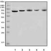 Western blot testing of human 1) HL60, 2) HEK293, 3) K562, 4) Jurkat and 5) Raji cell lysate with Apc5 antibody. Predicted molecular weight ~85 kDa.