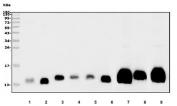 Western blot testing of human 1) placenta, 2) Jurkat, 3) SH-SY5Y, 4) U-87 MG, 5) PC-3, 6) HL60, 7) rat brain, 8) rat C6 and 9) mouse brain lysate with GNG2 antibody. Predicted molecular weight ~12 kDa.