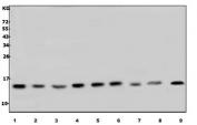 Western blot testing of human 1) HL60, 2) HepG2, 3) U937, 4) HEK293, 5) MCF7, 6) Jurkat, 7) Raji, 8) rat brain and 9) mouse brain lysate with LSM7 antibody. Predicted molecular weight ~12 kDa.